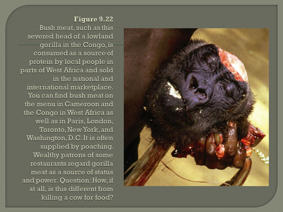 Figure 9.22 Bush meat, such as this severed head of a lowland gorilla in the Congo, is consumed as a source of protein by local people in parts of West Africa and sold in the national and international marketplace.