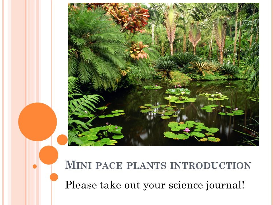 Mini pace plants introduction