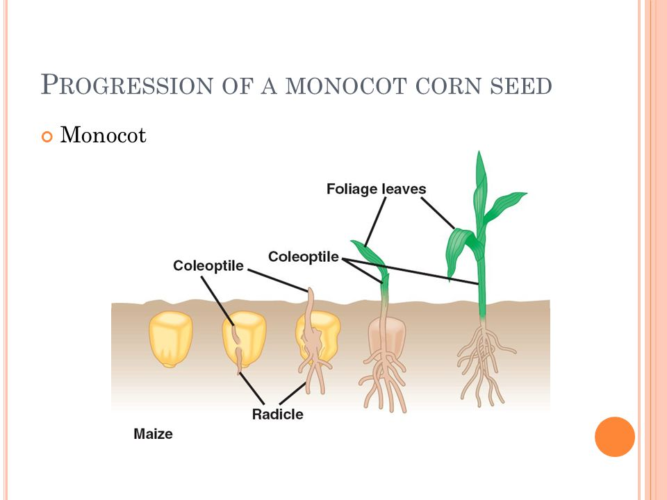 Progression of a monocot corn seed