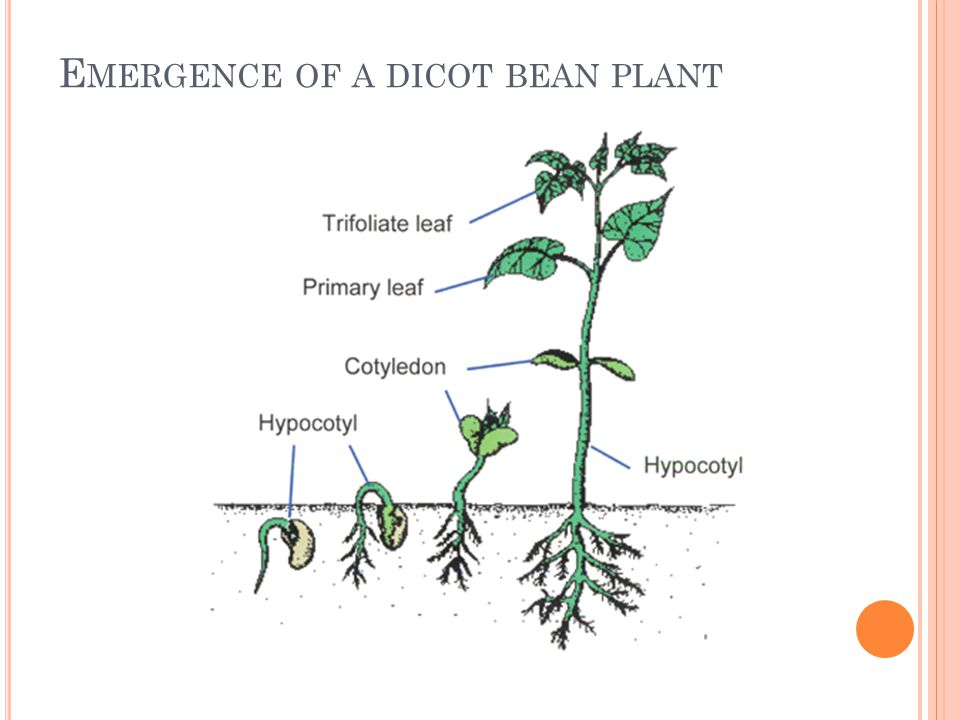 Emergence of a dicot bean plant