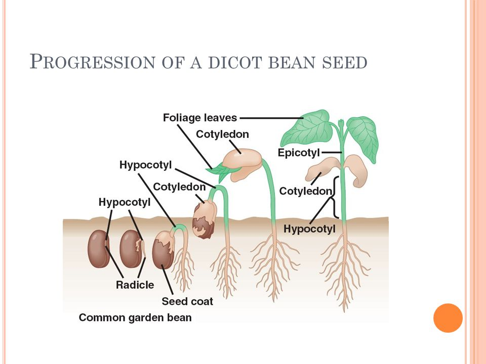 Progression of a dicot bean seed
