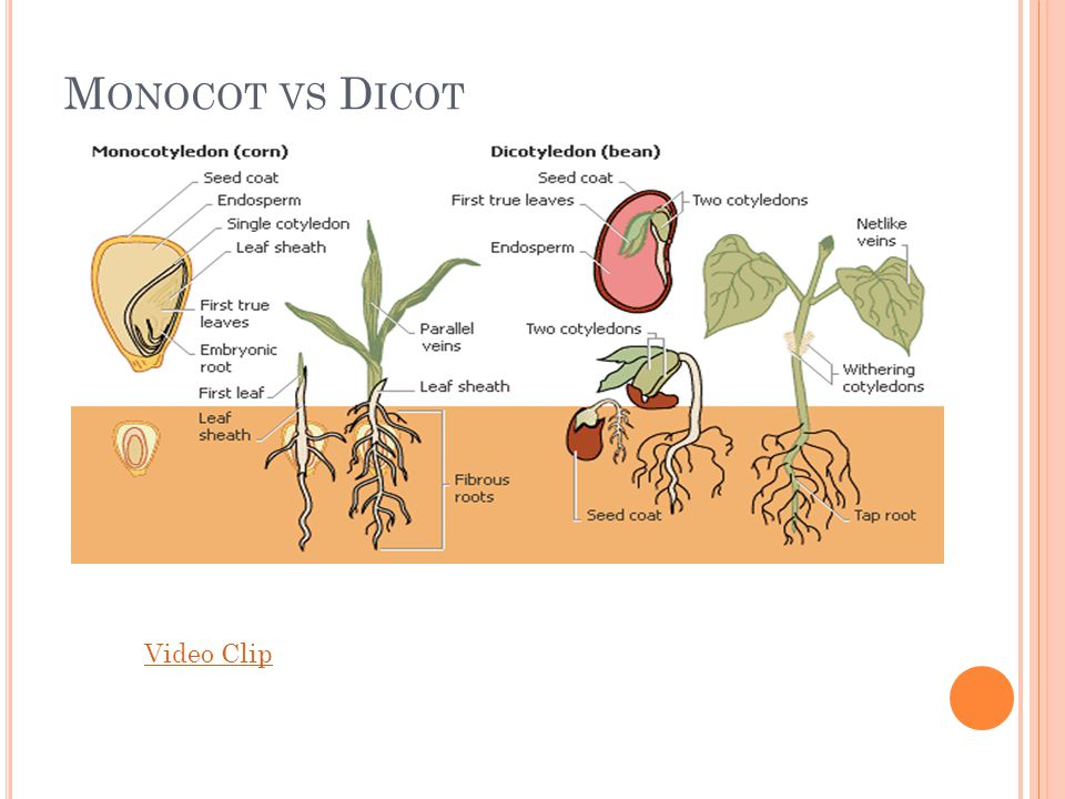 Monocot vs Dicot Video Clip