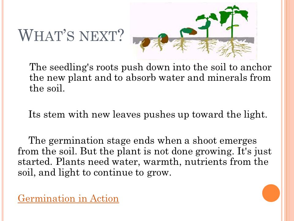 What's next The seedling s roots push down into the soil to anchor the new plant and to absorb water and minerals from the soil.