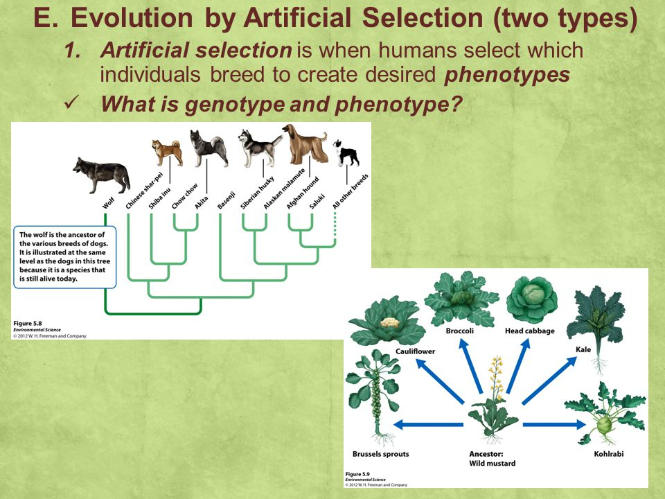 Evolution by Artificial Selection (two types)