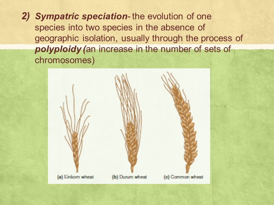 Sympatric speciation- the evolution of one species into two species in the absence of geographic isolation, usually through the process of polyploidy (an increase in the number of sets of chromosomes)