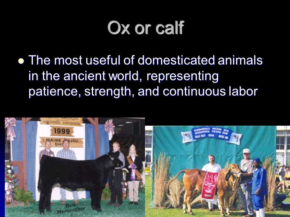 Ox or calf The most useful of domesticated animals in the ancient world, representing patience, strength, and continuous labor.