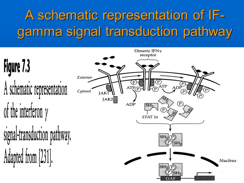 A schematic representation of IF-gamma signal transduction pathway