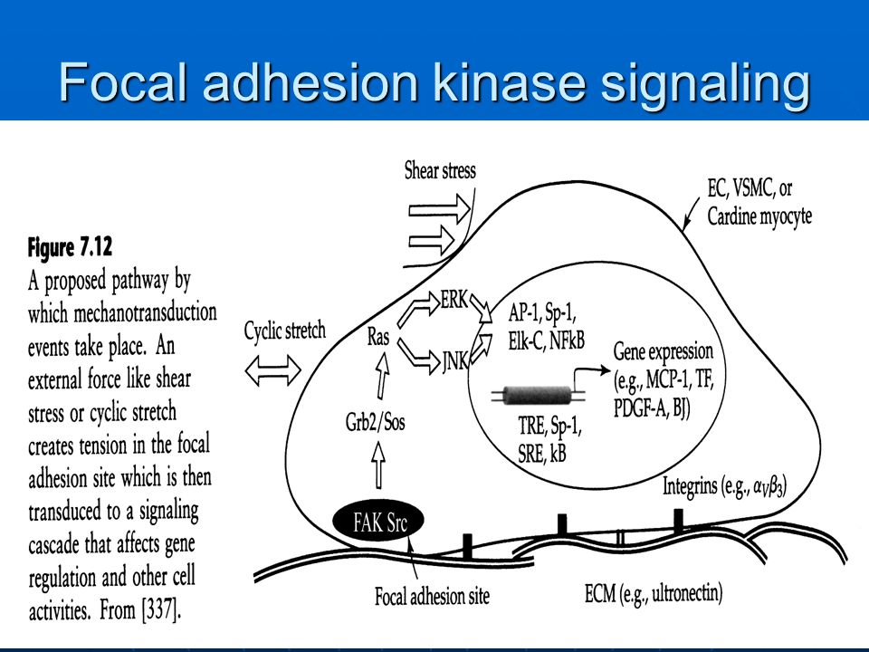 Focal adhesion kinase signaling