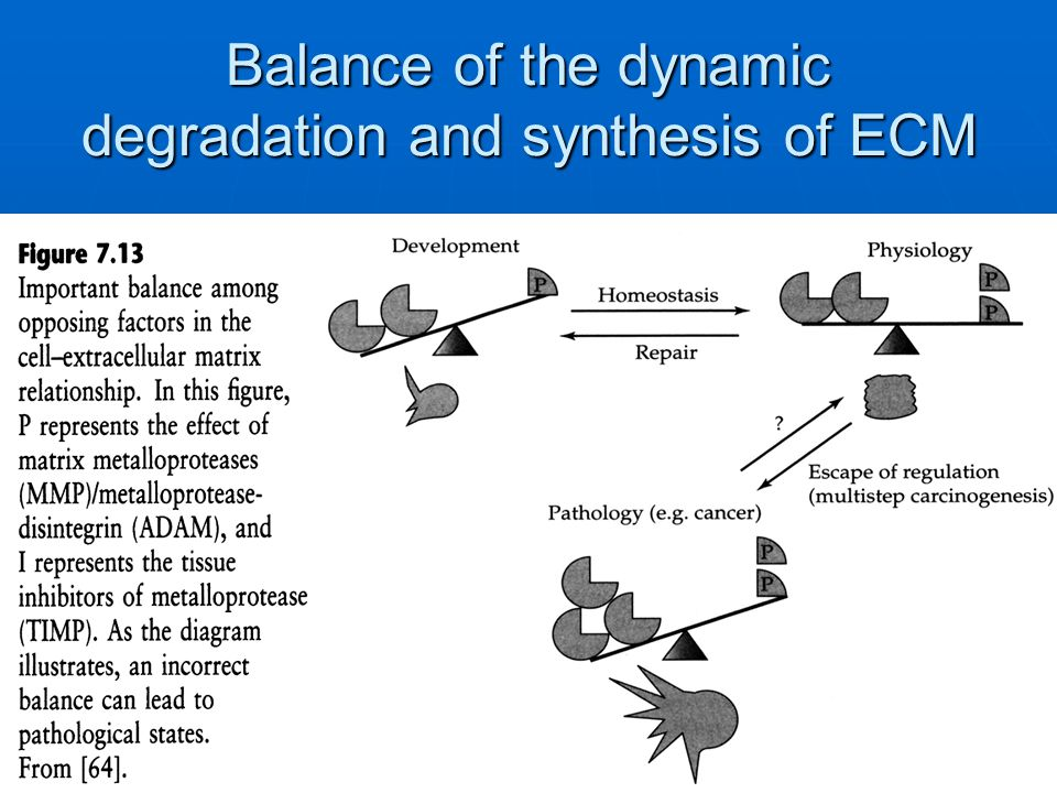Balance of the dynamic degradation and synthesis of ECM