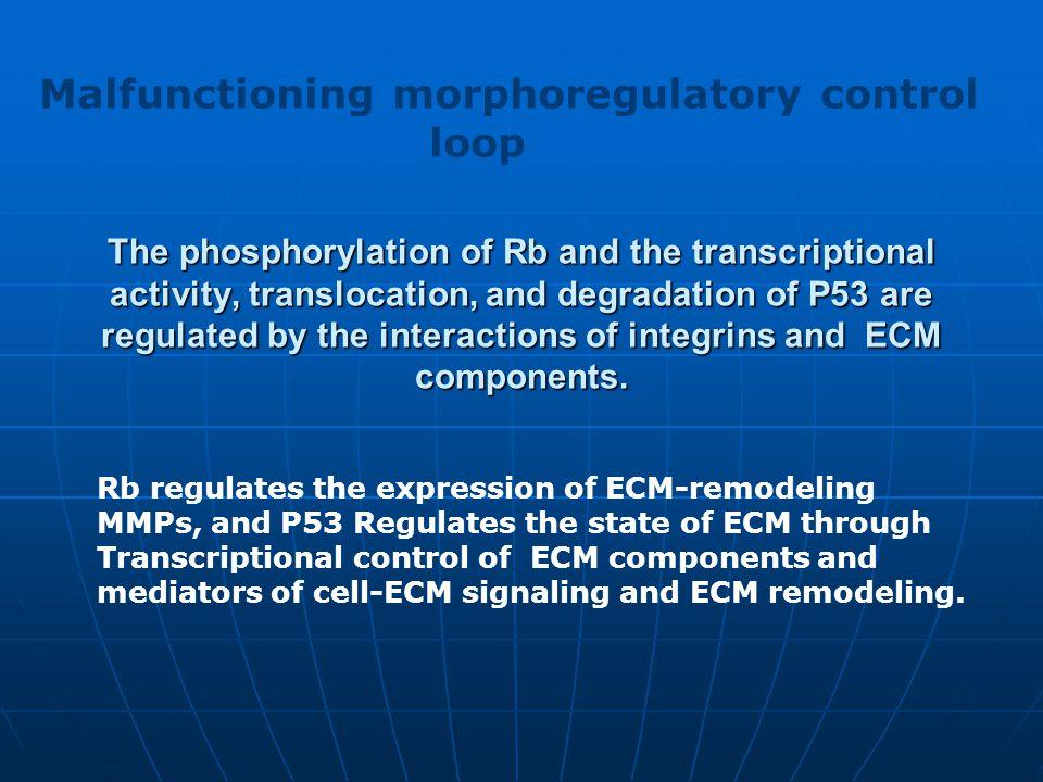 Malfunctioning morphoregulatory control loop