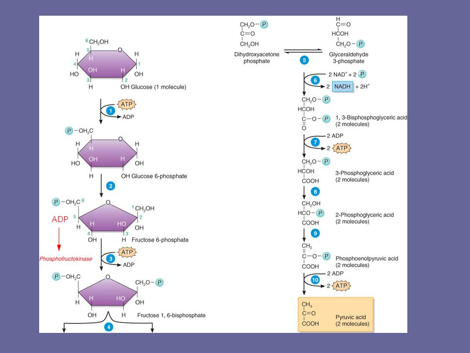 Glycolysis in Ten Steps