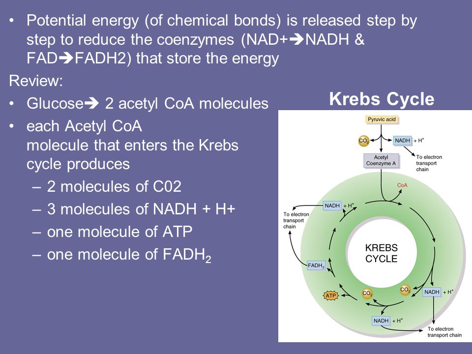 Potential energy (of chemical bonds) is released step by step to reduce the coenzymes (NAD+NADH & FADFADH2) that store the energy