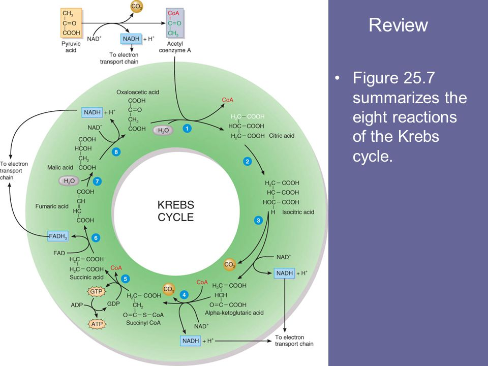 Review Figure 25.7 summarizes the eight reactions of the Krebs cycle.