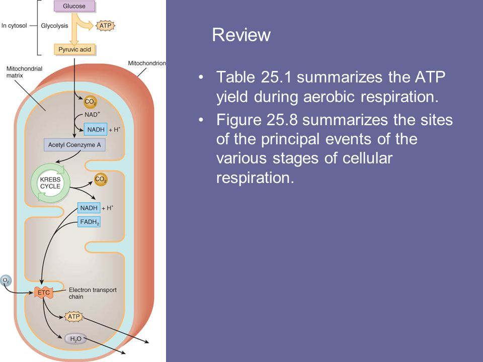 Review Table 25.1 summarizes the ATP yield during aerobic respiration.