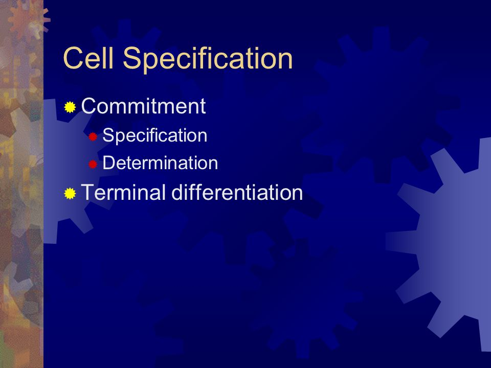 Cell Specification Commitment Terminal differentiation Specification