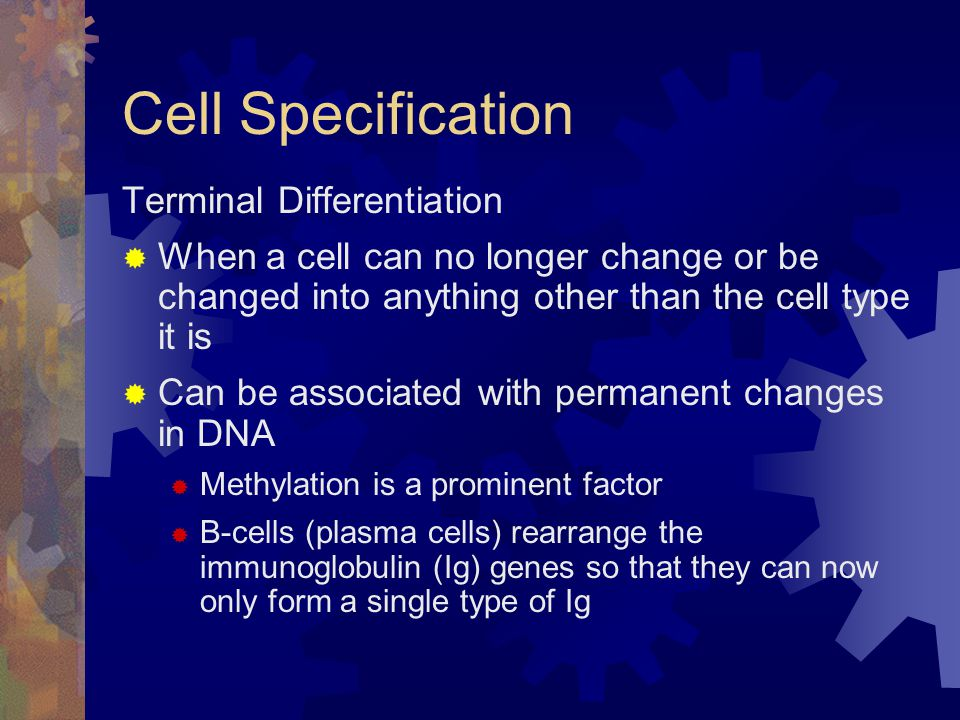 Cell Specification Terminal Differentiation