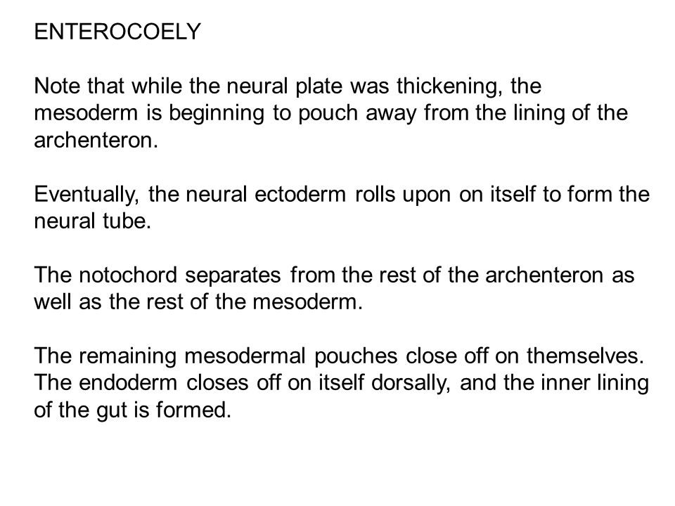 ENTEROCOELY Note that while the neural plate was thickening, the mesoderm is beginning to pouch away from the lining of the archenteron.