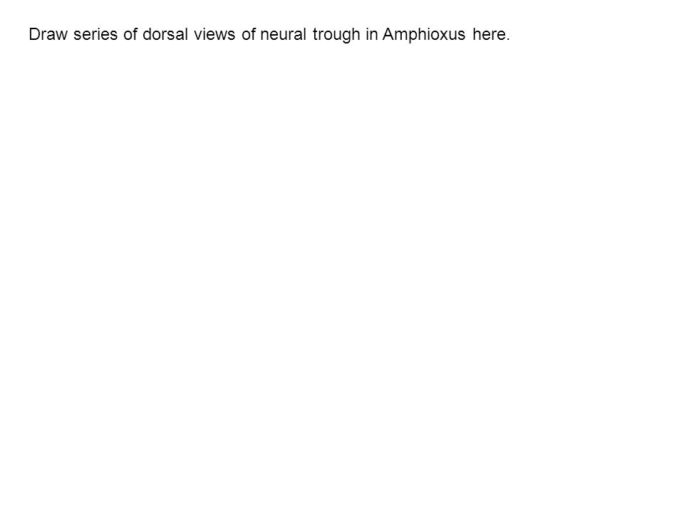 Draw series of dorsal views of neural trough in Amphioxus here.