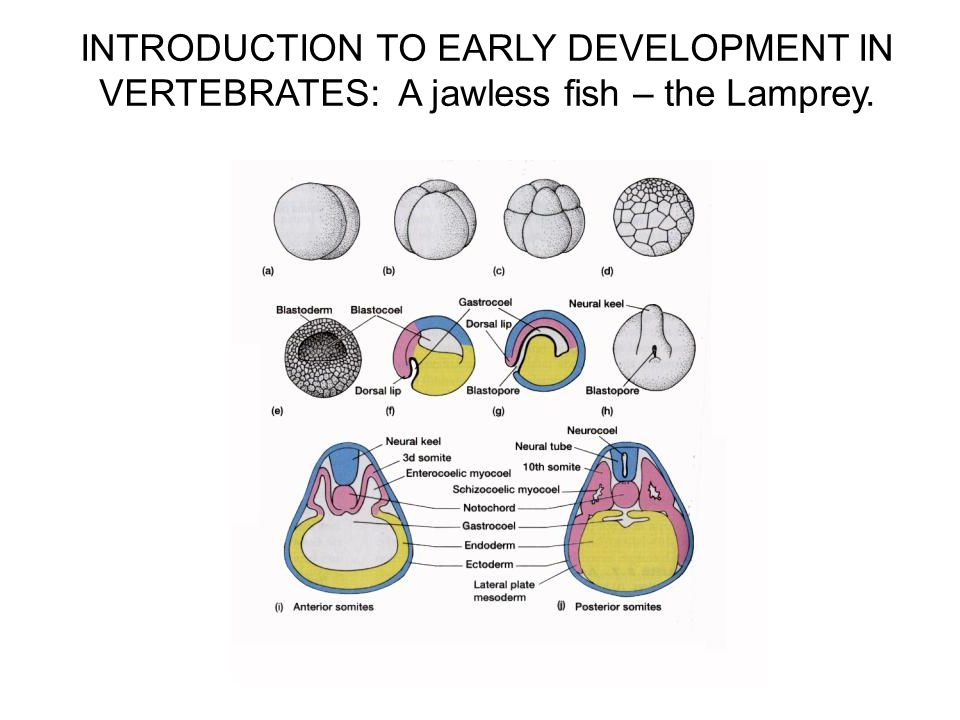 the evolution of fish vertebrates begin Others have more dramatic and holistic changes all vertebrates begin their development after conception as embryonic fish because of the physiology and structure of all vertebrates before evolution (shubin et al2009.