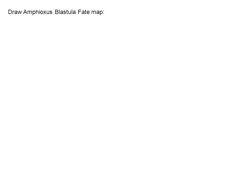 Draw Amphioxus Blastula Fate map: