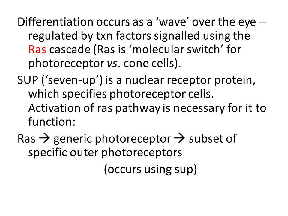 Differentiation occurs as a 'wave' over the eye – regulated by txn factors signalled using the Ras cascade (Ras is 'molecular switch' for photoreceptor vs.