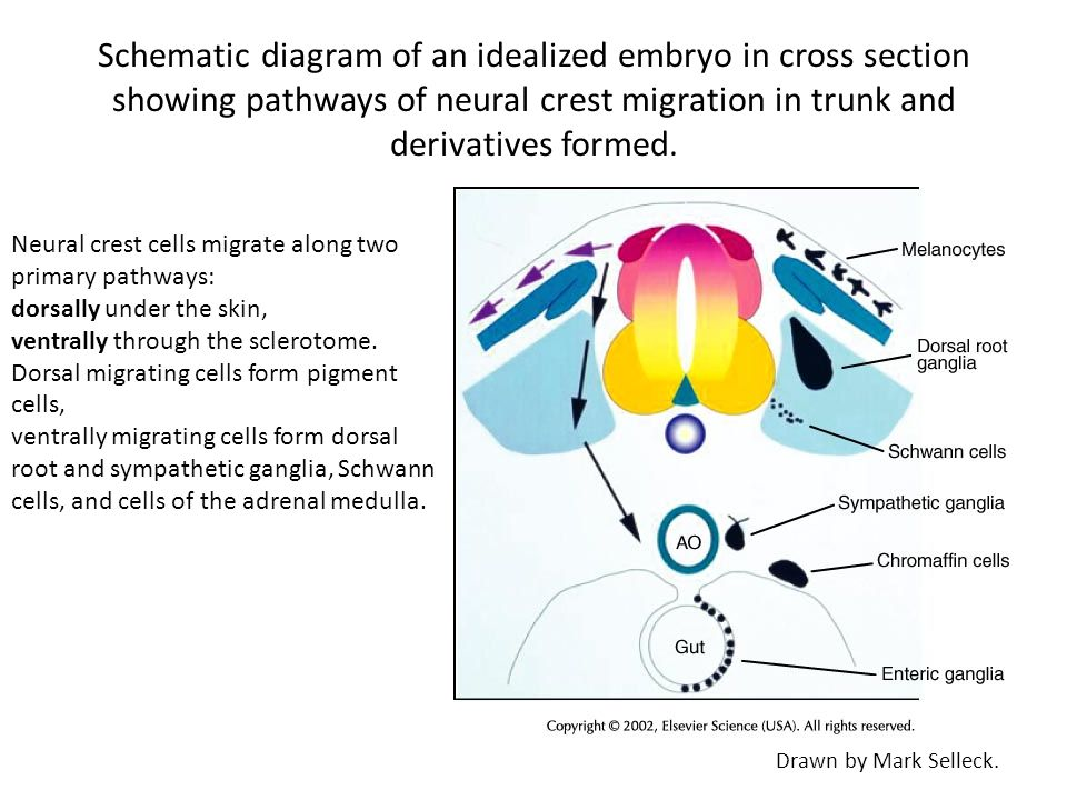 Schematic diagram of an idealized embryo in cross section showing pathways of neural crest migration in trunk and derivatives formed.