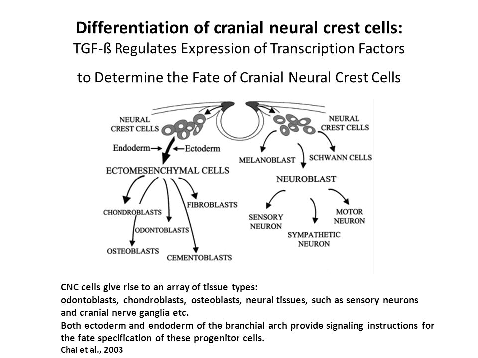 Differentiation of cranial neural crest cells: TGF-ß Regulates Expression of Transcription Factors to Determine the Fate of Cranial Neural Crest Cells