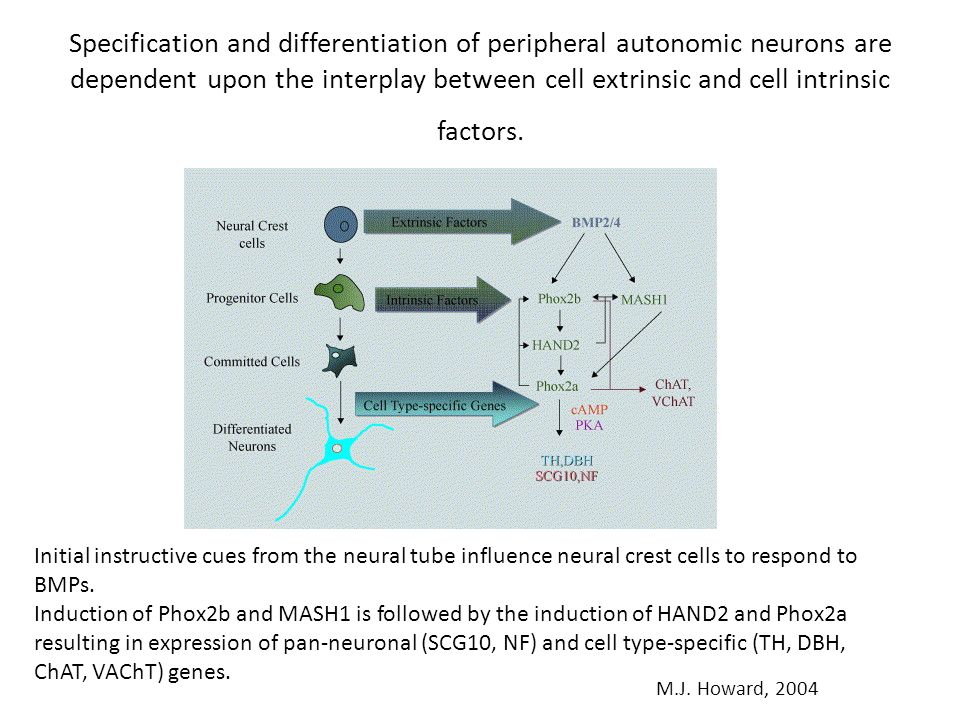 Specification and differentiation of peripheral autonomic neurons are dependent upon the interplay between cell extrinsic and cell intrinsic factors.
