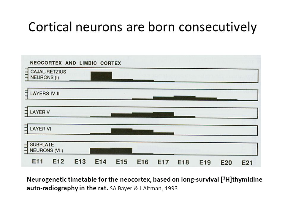 Cortical neurons are born consecutively