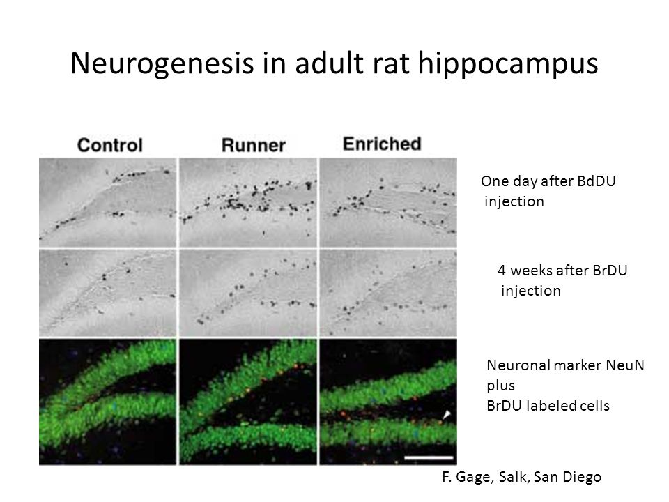 Neurogenesis in adult rat hippocampus