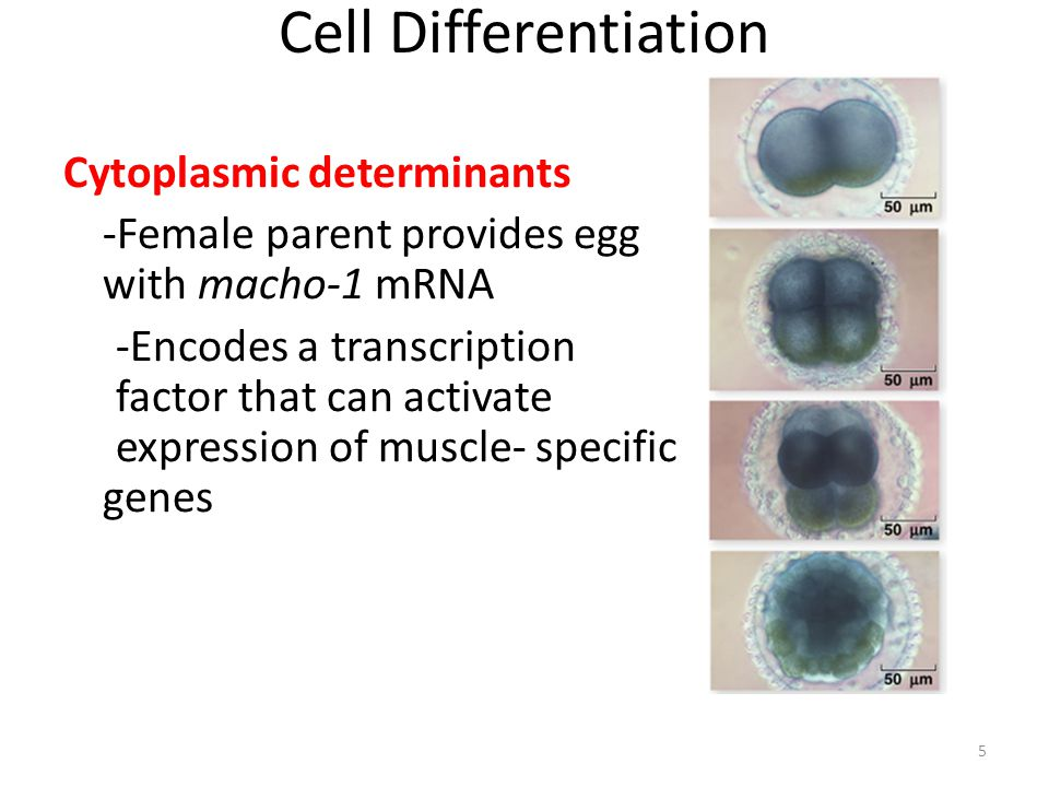 Cell Differentiation Cytoplasmic determinants