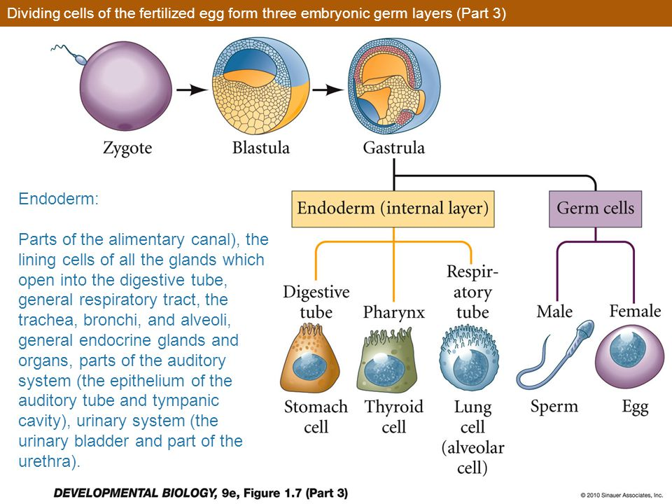 Dividing cells of the fertilized egg form three embryonic germ layers (Part 3)