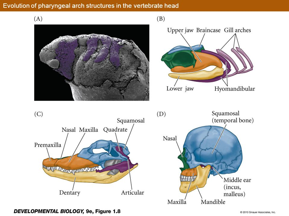 Evolution of pharyngeal arch structures in the vertebrate head