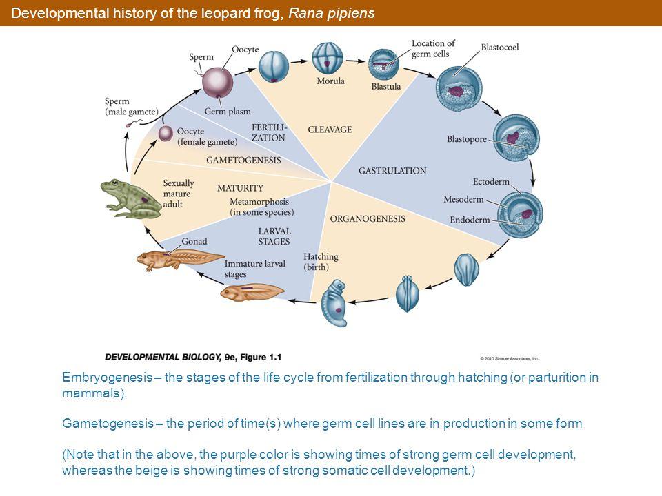 Developmental history of the leopard frog, Rana pipiens