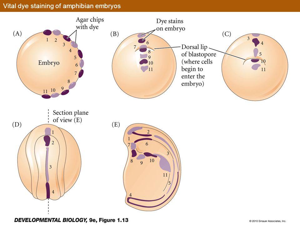 Vital dye staining of amphibian embryos