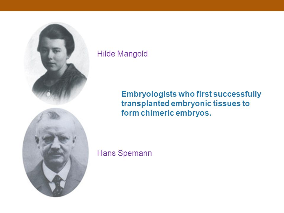 Hilde Mangold Embryologists who first successfully transplanted embryonic tissues to form chimeric embryos.