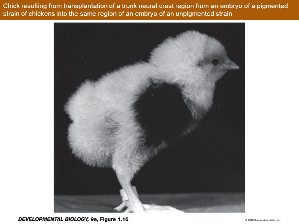 Chick resulting from transplantation of a trunk neural crest region from an embryo of a pigmented strain of chickens into the same region of an embryo of an unpigmented strain