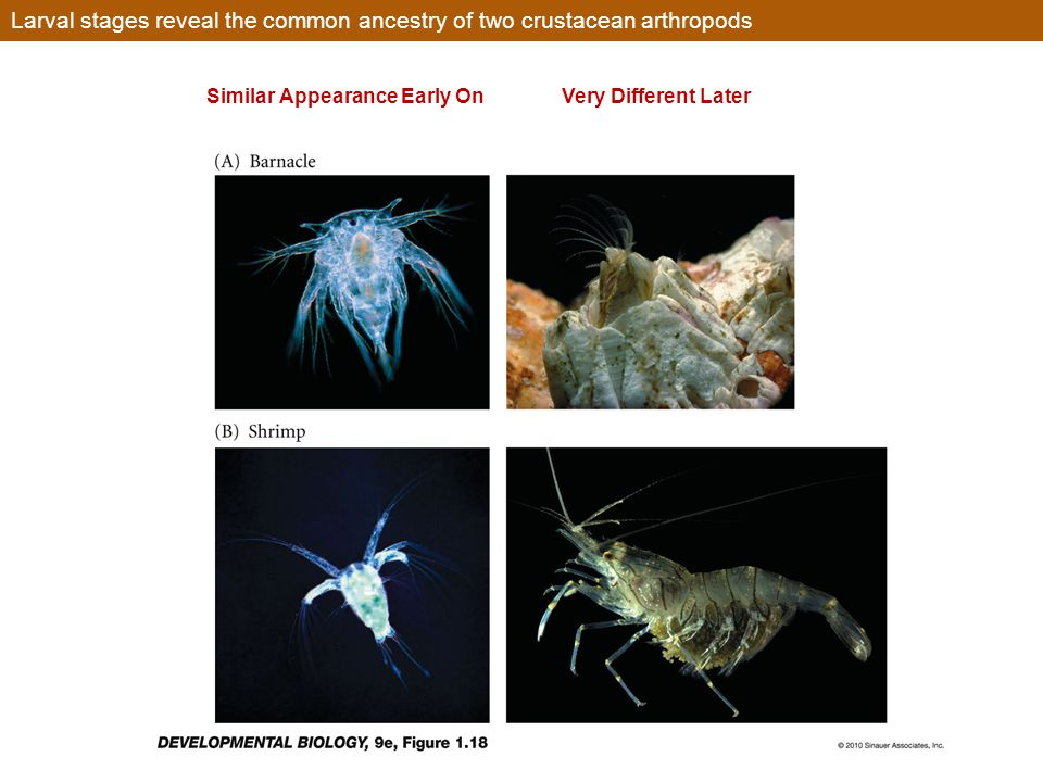 Larval stages reveal the common ancestry of two crustacean arthropods