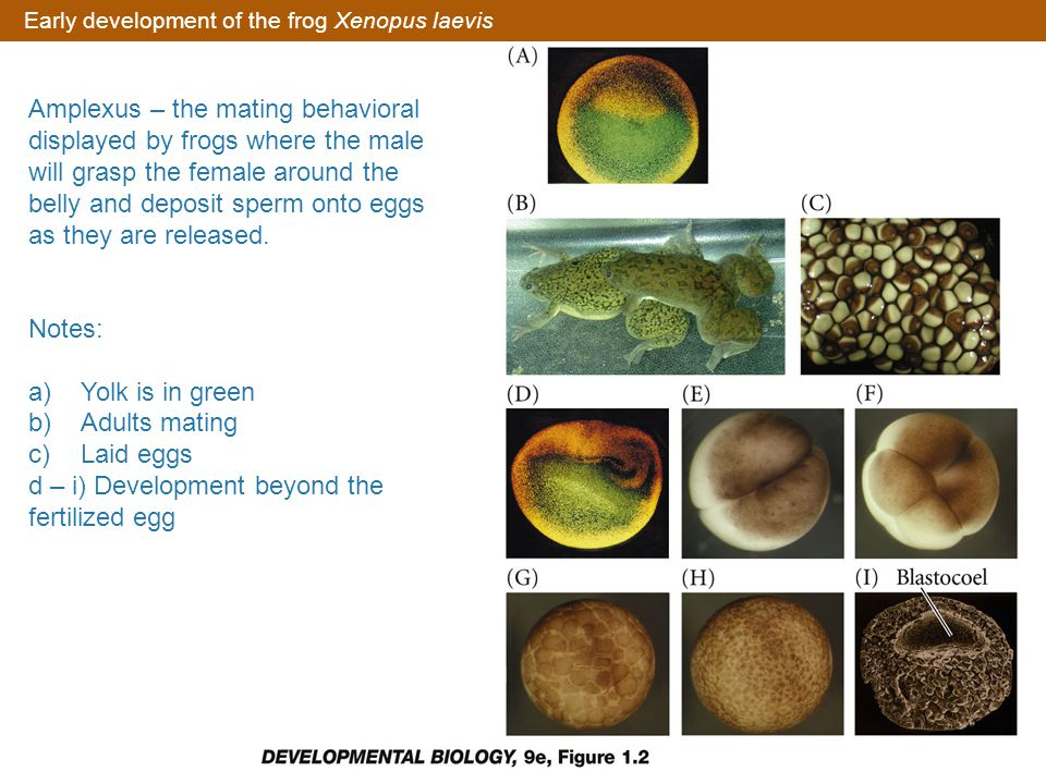 Early development of the frog Xenopus laevis