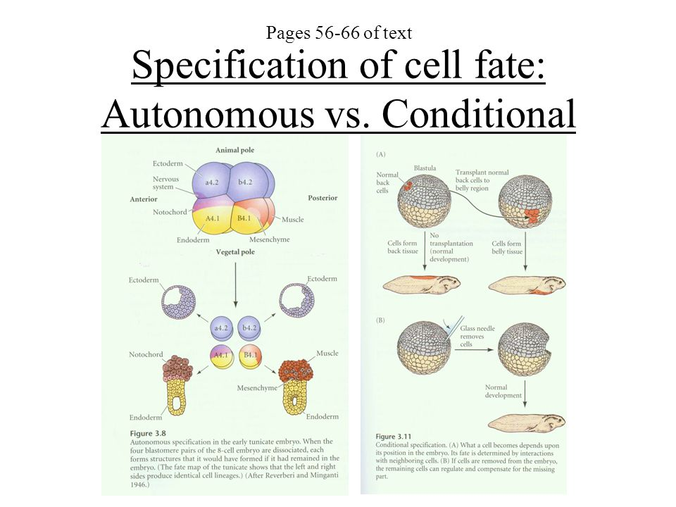 Specification of cell fate: Autonomous vs. Conditional