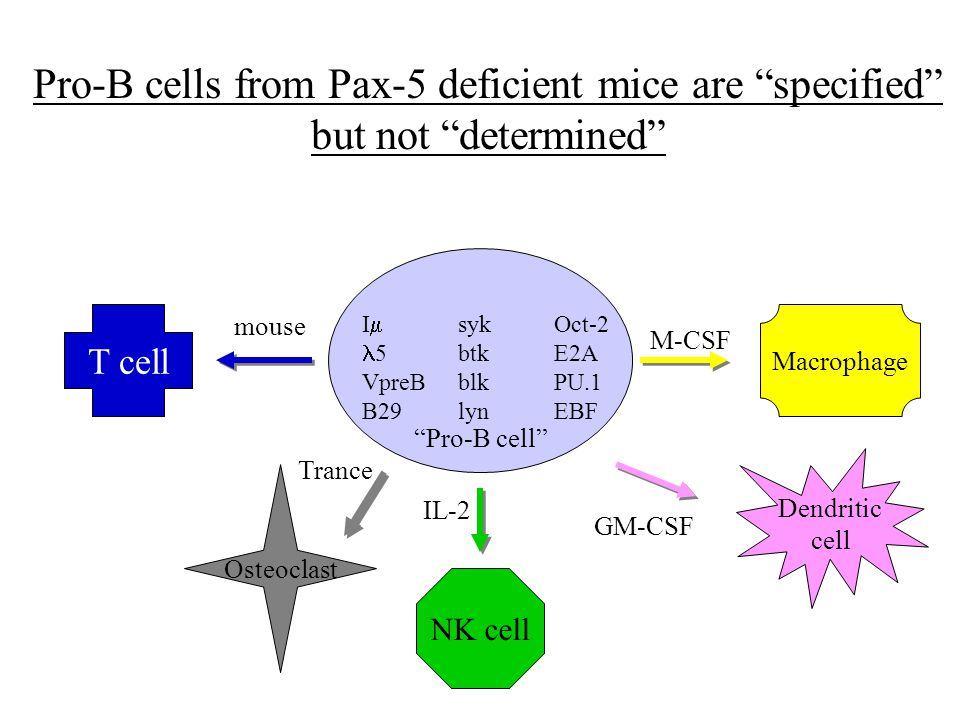 Pro-B cells from Pax-5 deficient mice are specified but not determined
