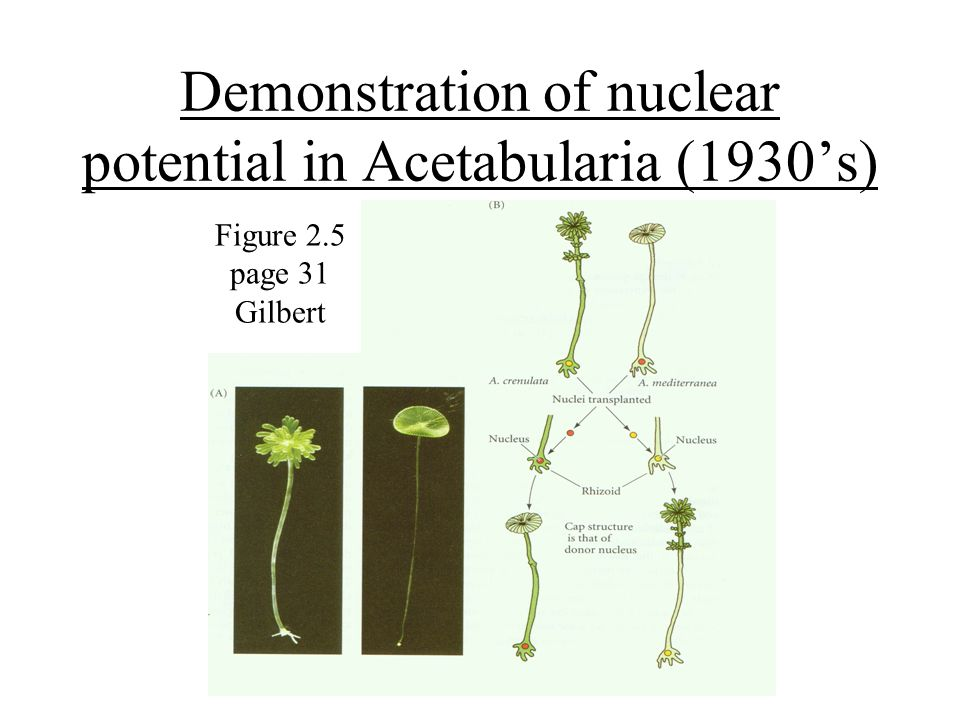 Demonstration of nuclear potential in Acetabularia (1930's)