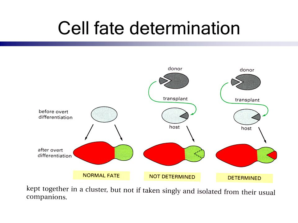 Cell fate determination