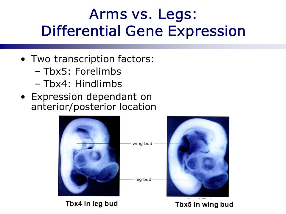 Arms vs. Legs: Differential Gene Expression