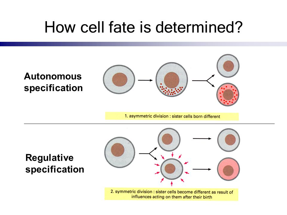 How cell fate is determined