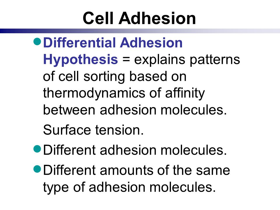 Cell Adhesion Differential Adhesion Hypothesis = explains patterns of cell sorting based on thermodynamics of affinity between adhesion molecules.
