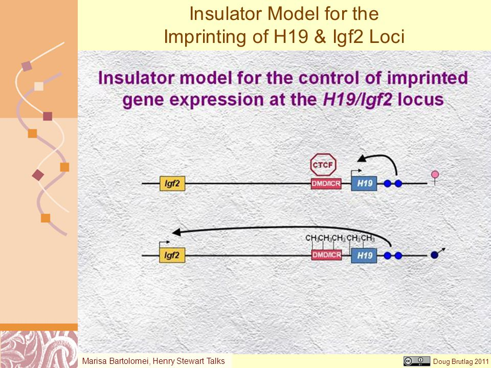 Insulator Model for the Imprinting of H19 & Igf2 Loci