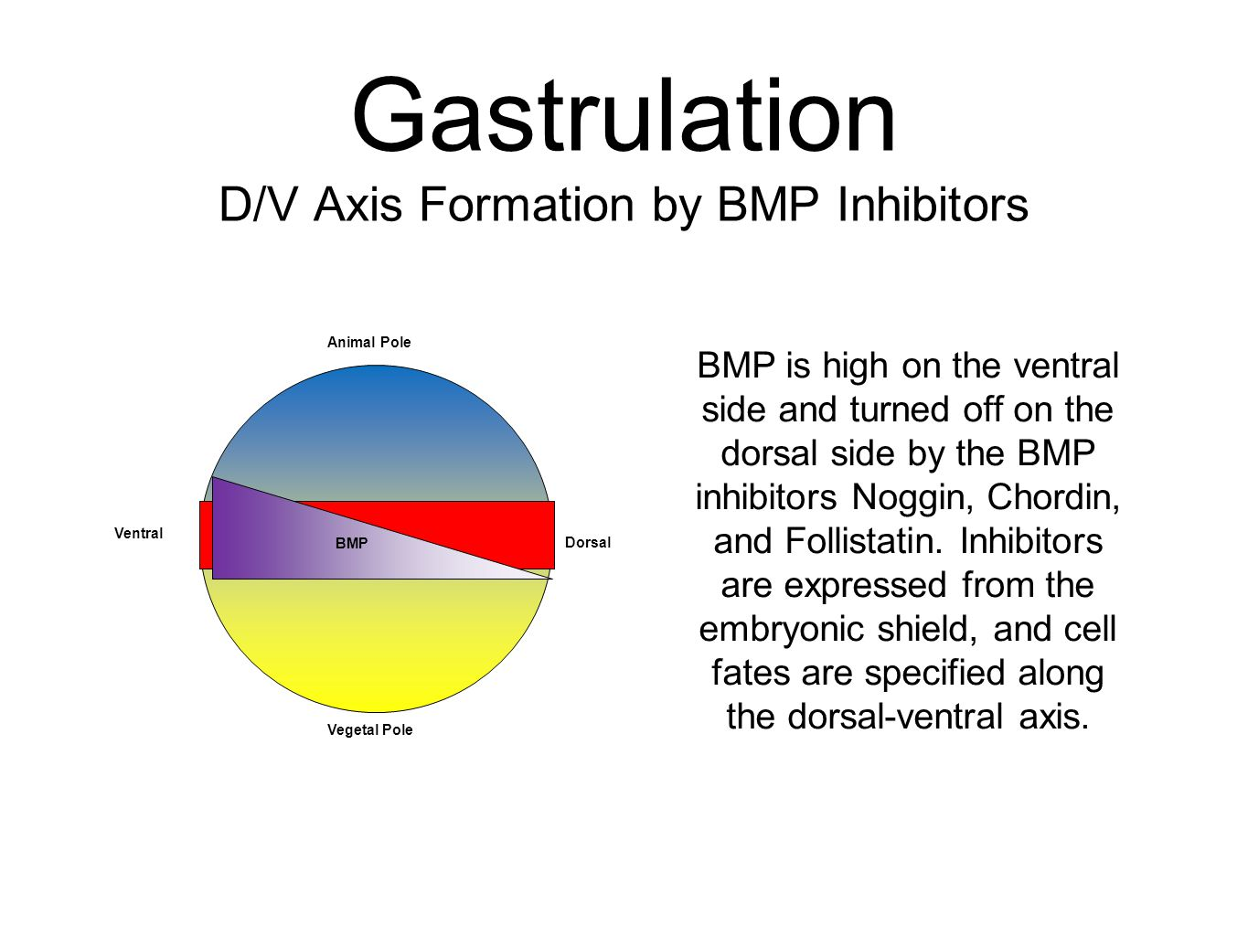 Gastrulation D/V Axis Formation by BMP Inhibitors