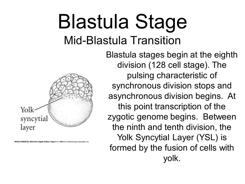 Blastula Stage Mid-Blastula Transition