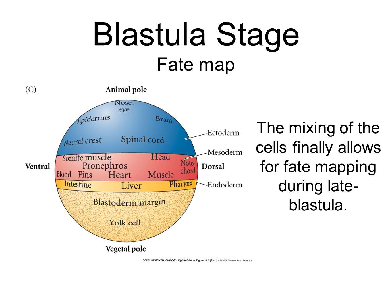 Blastula Stage Fate map